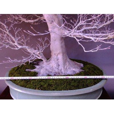 画像3: 山もみじ 大物盆栽
