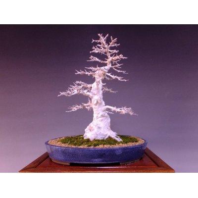 画像1: カエデ 中品盆栽