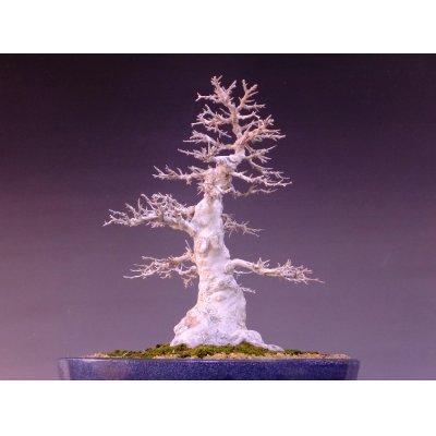 画像4: カエデ 中品盆栽