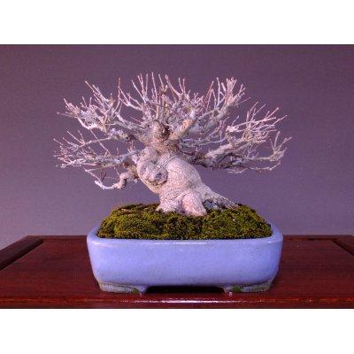 画像2: 山もみじ 小品盆栽