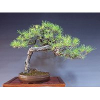 赤松 山採り 中品盆栽