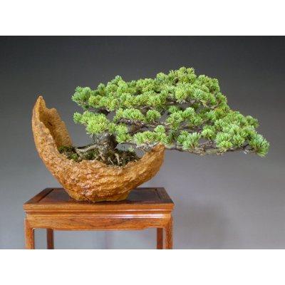 画像1: 八つ房五葉松 中品盆栽
