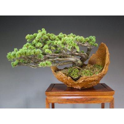 画像2: 八つ房五葉松 中品盆栽