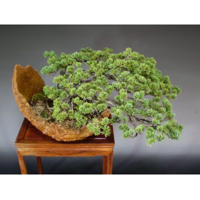 画像5: 八つ房五葉松 中品盆栽