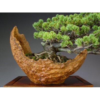 画像3: 八つ房五葉松 中品盆栽