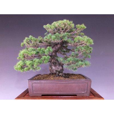 画像1: 瑞祥五葉松 中品盆栽