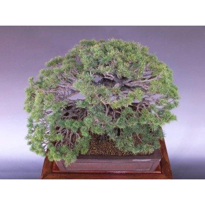 画像5: 瑞祥五葉松 中品盆栽