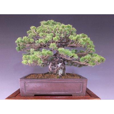 画像2: 瑞祥五葉松 中品盆栽