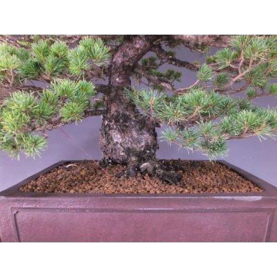 画像3: 瑞祥五葉松 中品盆栽