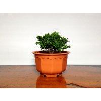 津山檜(八房ヒノキ) 小品ミニ盆栽素材