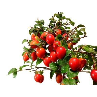 画像2: 老爺柿 「紅光」 貴風盆栽
