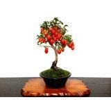 老爺柿 「紅光」 貴風盆栽