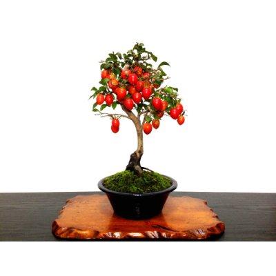 画像1: 老爺柿 「紅光」 貴風盆栽