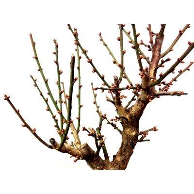 画像2: 花梅 「大盃」 貴風盆栽素材