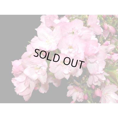 画像2: 旭山桜 貴風盆栽素材