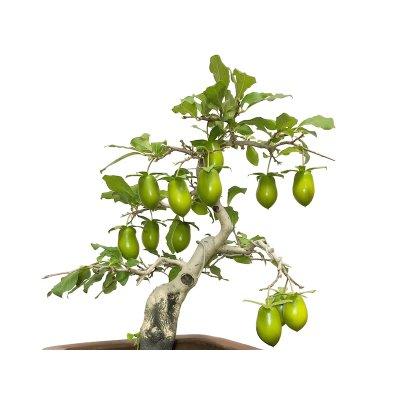 画像1: 老爺柿 黄瓢箪 自根苗(正木)