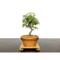 楓(カエデ) 小品盆栽素材
