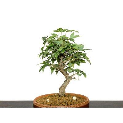 画像2: 楓(カエデ) 小品盆栽素材