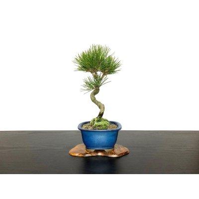 画像1: 黒松 小品盆栽素材