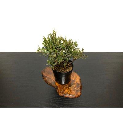 画像4: 糸魚川真柏 小品ミニ盆栽素材