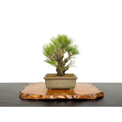画像1: 錦松 夢錦 小品盆栽
