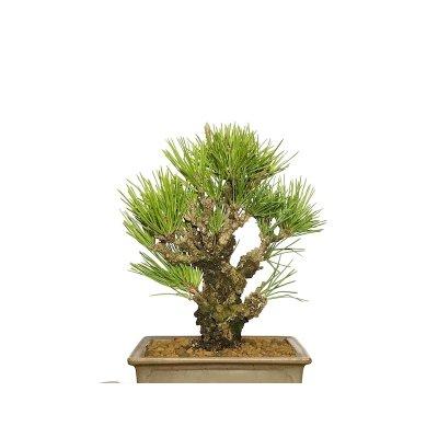 画像2: 錦松 夢錦 小品盆栽