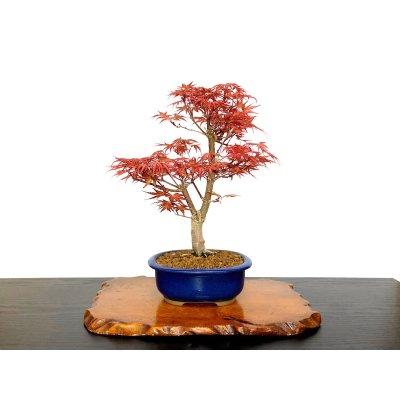 画像1: 清玄もみじ 貴風盆栽素材