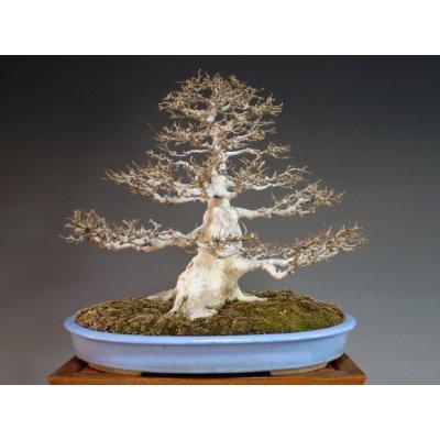 画像2: カエデ 中品盆栽