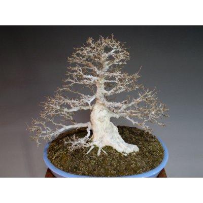 画像5: カエデ 中品盆栽