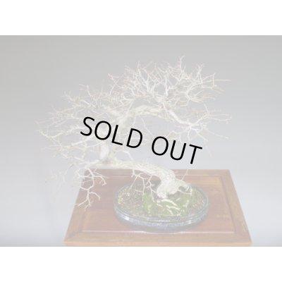 画像5: イワシデ 中品盆栽